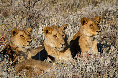 Three of the lions have noticed one zebra has strayed from the nearby herd. Etosha National Park, Namibia.