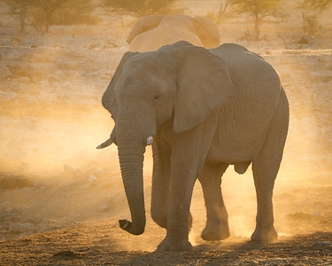 Backlit elephant at sunset - Etosha National Park, Namibia.