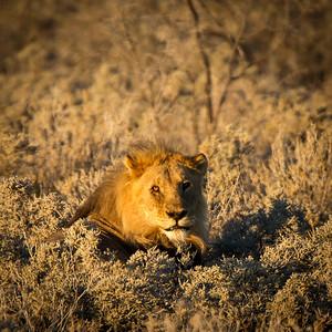 Lion - Etosha National Park, Namibia.