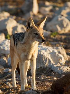 Jackal - Etosha National Park, Namibia