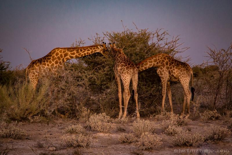 Giraffes munch on Acacia trees at dusk - Etosha National Park, Namibia.