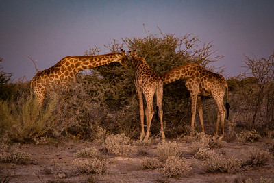 Giraffes munch on Acacia trees at dusk - Etosha National Park, Namibia.