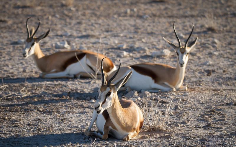 A trio of Springbok - Etosha National Park, Namibia.