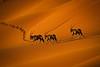 A trio of Oryx on an early-morning trek thru the orange sand dunes of Sossusvlei - in Namib-Naukluft National Park, Namibia.