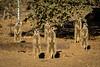 A mob of Meerkats warily sneaks into a cheetah enclosure - game reserve near Keetmanshoop, Namibia