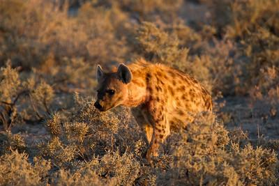 Spotted Hyena - Etosha National Park, Namibia.