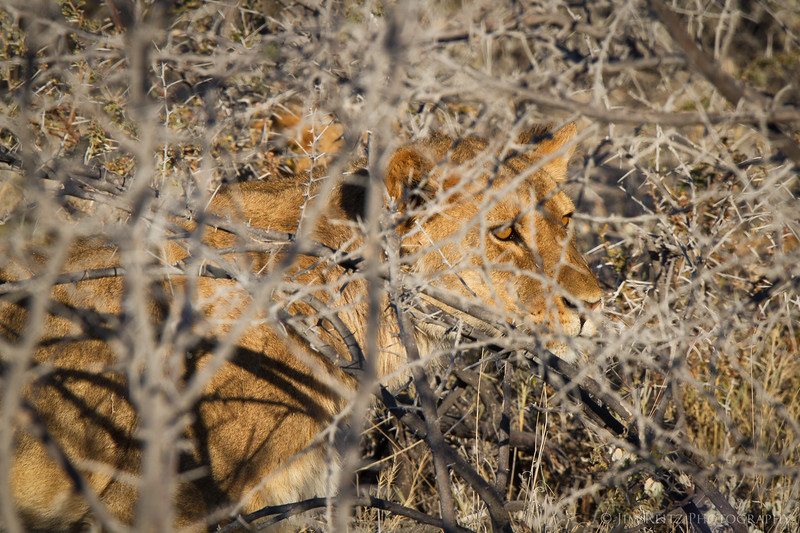 Lion creeping thru brush to get closer to the Zebra. Etosha National Park, Namibia.