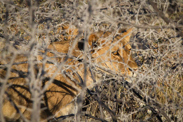 Lion creeping thru brush to get closer to the Zebra. Etosha National Park, Namibia.