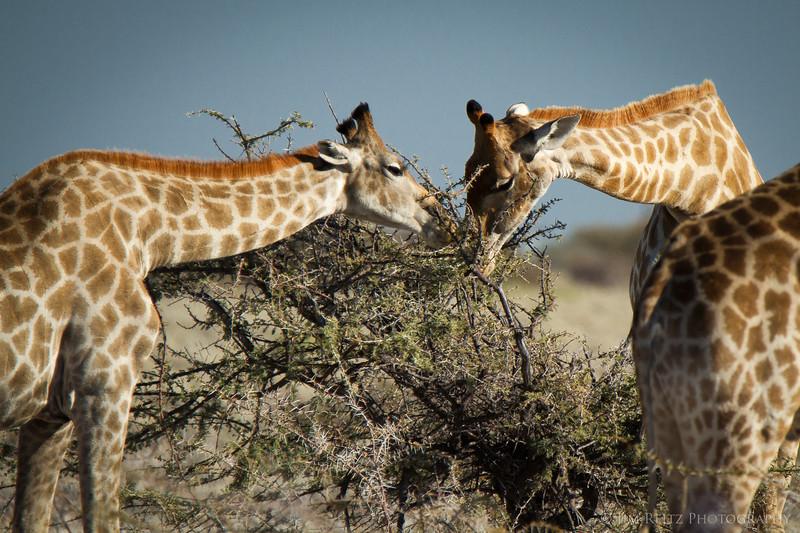 Giraffes  - Etosha National Park, Namibia.