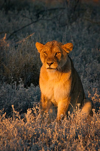 Bathed in late-afternoon light, this lion keeps an eye on the lone zebra they've been stalking all afternoon.