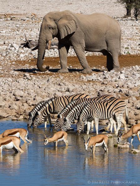 Elephant, Zebra, and Springbox form visual layers at the water hole. Etosha National Park, Namibia.
