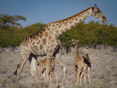 Adult and baby giraffes - Etosha National Park, Namibia.