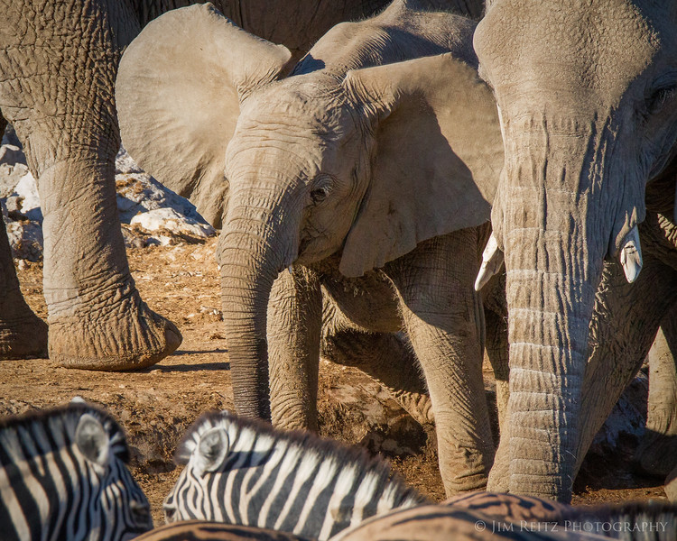 Baby elephant being protected by their herd at the busy water hole - Etosha National Park, Namibia.