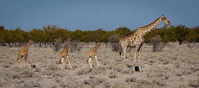 Adult and baby giraffes - Etosha National Park, Namibia.