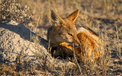 Sleeping jackal in Etosha National Park, Namibia