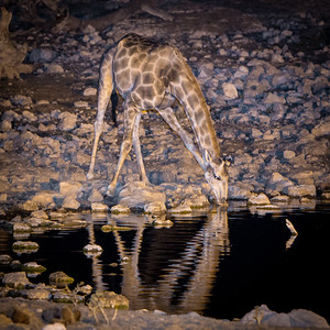 Giraffe at the water hole - Etosha National Park, Namibia.