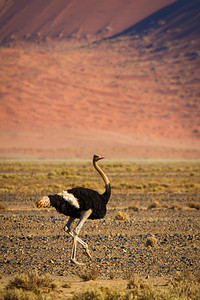Ostrich in Namib-Naukluft National Park, Namibia.