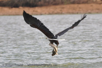 Fish Eagle at work...Kruger National Park, South Africa