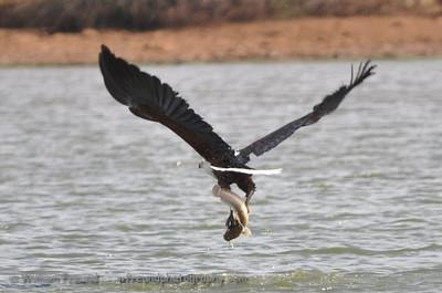 Fish Eagle at work...Kruger National Park, South Africa