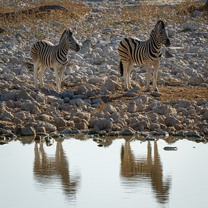 Zebras at the water hole - Etosha National Park, Namibia.