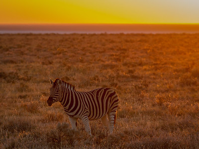 Zebra Sunset