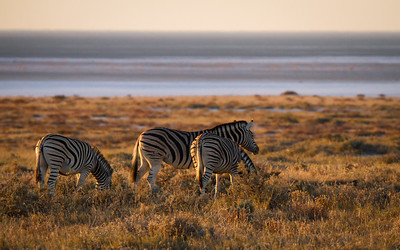 Zebras overlooking the huge salt pan at Etosha National Park, Namibia.