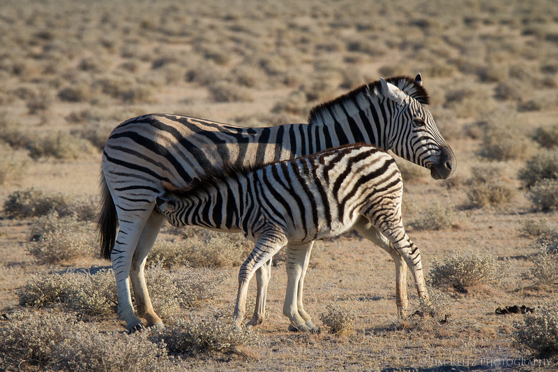 Zebra colt and his mother. Etosha National Park, Namibia.