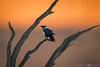Desert Crow