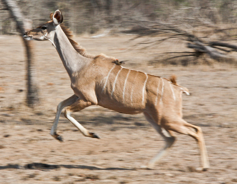 Female kudu on the move Sabi Sands South Africa