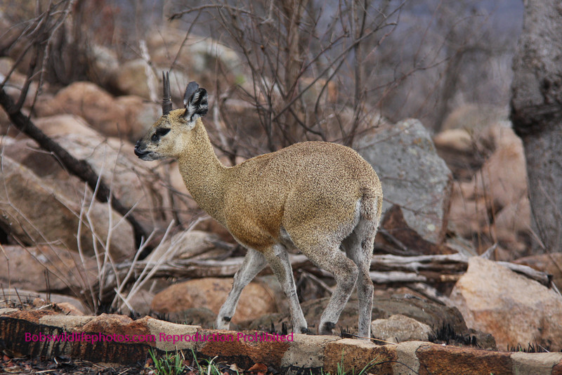 Klipspringer Ram Kruger Park South Africa.