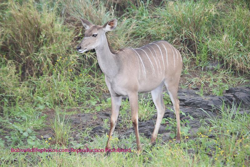 Young female kudu Kruger Park