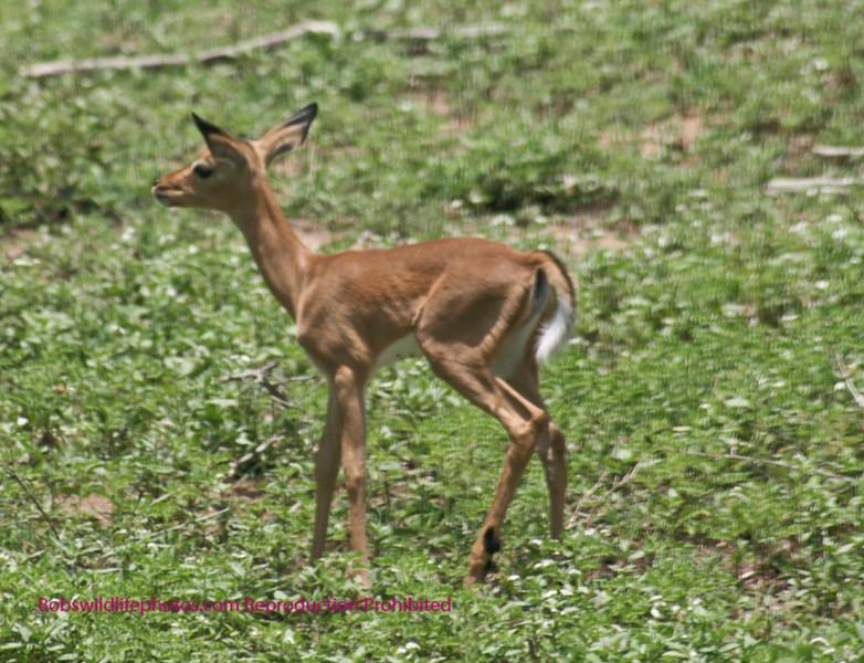 Impala lamb Kruger Park