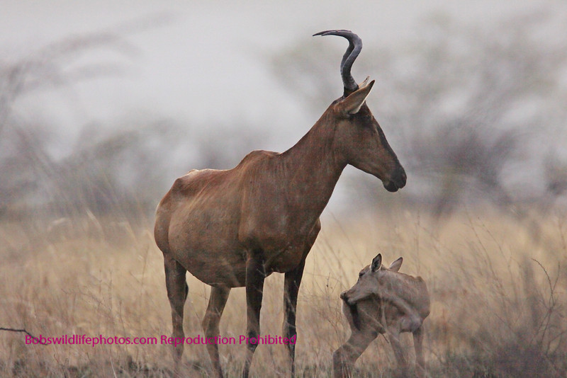 Red Hartebeest and calf. Photo taken in Etosha Park Namibia