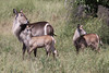 Waterbuck cow and calves.