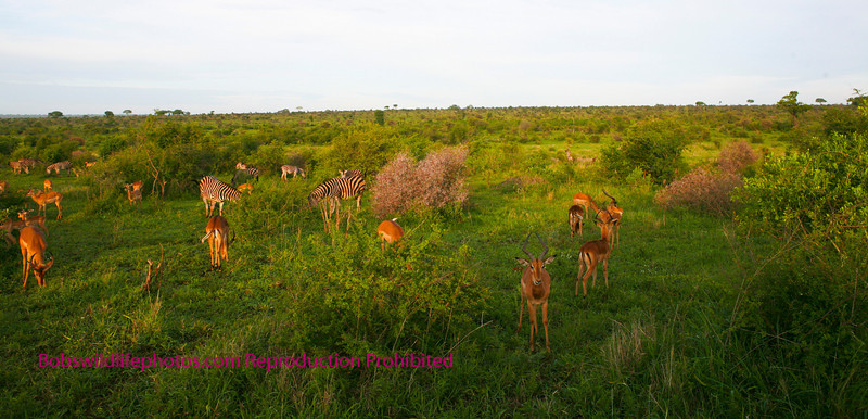 This vista contains a multitude of animals, impala and zebra being the most prominent. Within a half mile of driving down this road between Crocodile Bridge and Lower Sabie, we saw a multitude of antelope, giraffe, elephant and rhino. Kruger Park