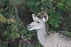 Female kudu Kruger Park