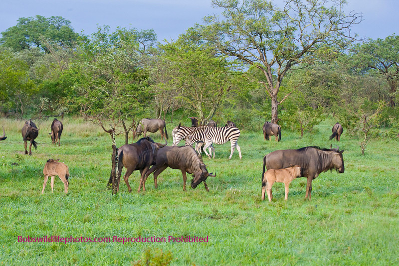This scene was shot near Nkorho. Sabi Sands South Africa