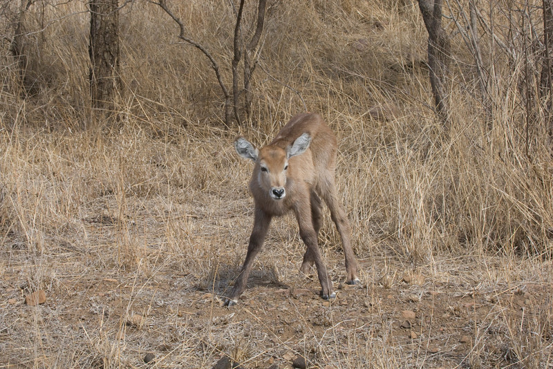 We spooted this young waterbuck on the side of the road near Olifants. Shortly afterwords the mother appeared on the far side of the road and all was well. Kruger Park