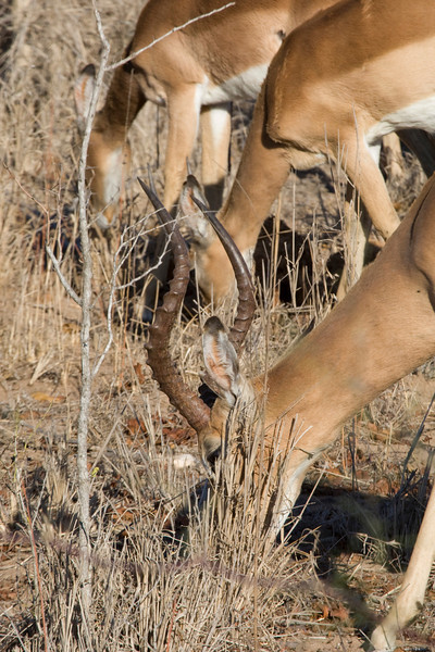 These impala are trying to find sufficient nurishment in very dry environment. Kruger Park