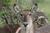 Close up of female waterbuck Sabi Sands South Africa