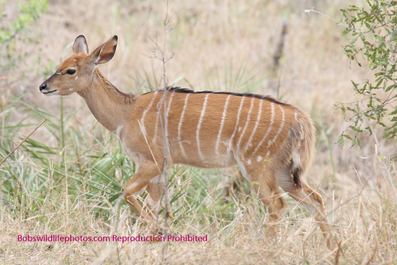 female nyala,sabi sands, south africa
