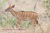 female nyala,sabi sands, south africa