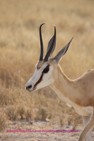 Springbok Etosha Park Namibia