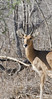 The Reedbuck is a medium to large antelope with the males weighing about 175 lbs and the females 150. Note the horns actually bend forward. Sabi Sands South Africa