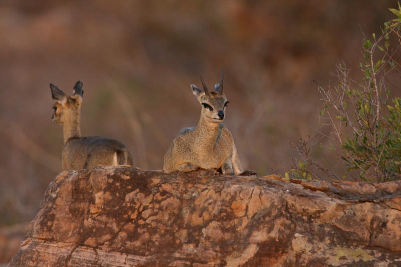 Klipspringer male and female at sunset. Kruger Park