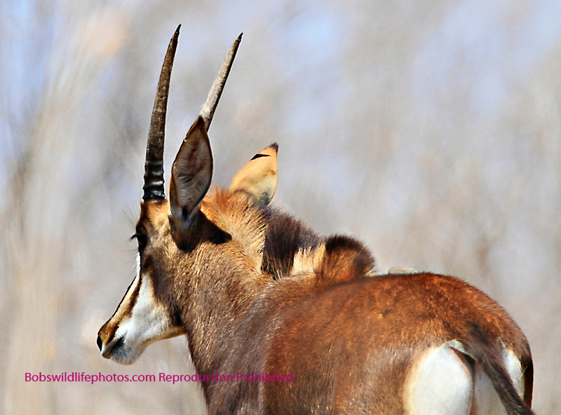 Sable Antalope Kruger Park South Africa.