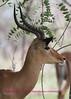 Impala Ram Kruger Park