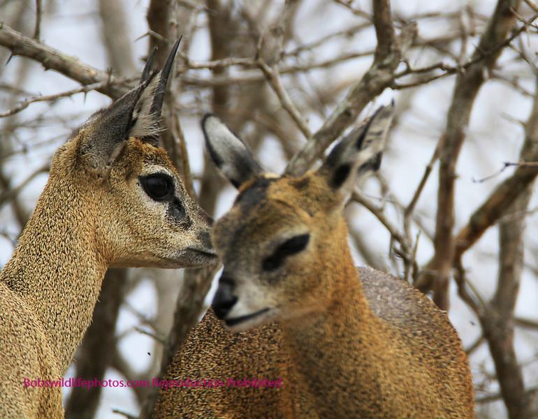 Klipspringer couple