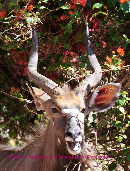Nyala Bull Sabie Sands South Africa.