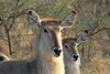 Waterbuck Females